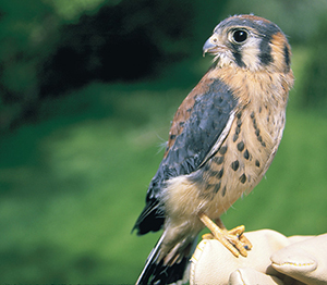 Now is the perfect time to build and install a kestrel nestbox.