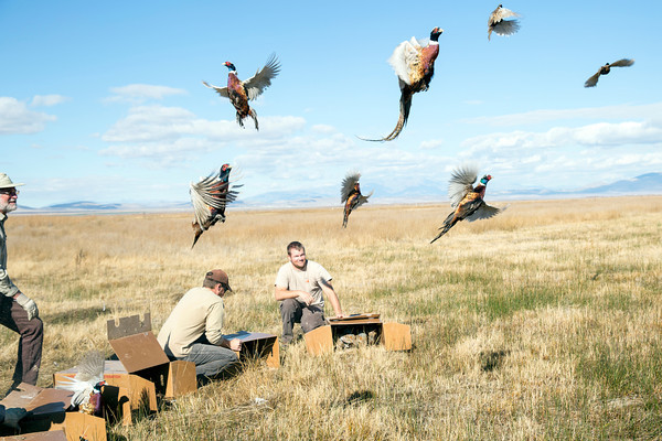 Releasing pheasants just before the hunt in 2013.