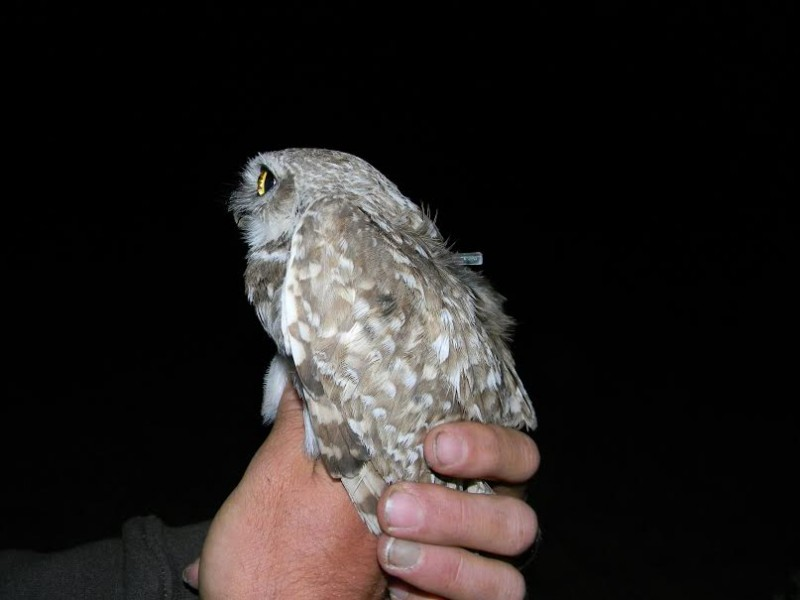 Take a close look and you'll see the geolocator on the owl's back.