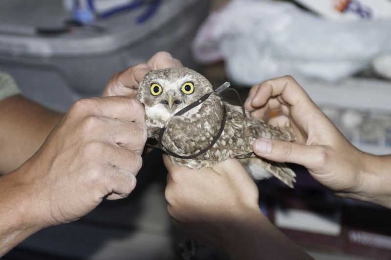 Biologists fit a burrowing owl with a PTT backpack unit.