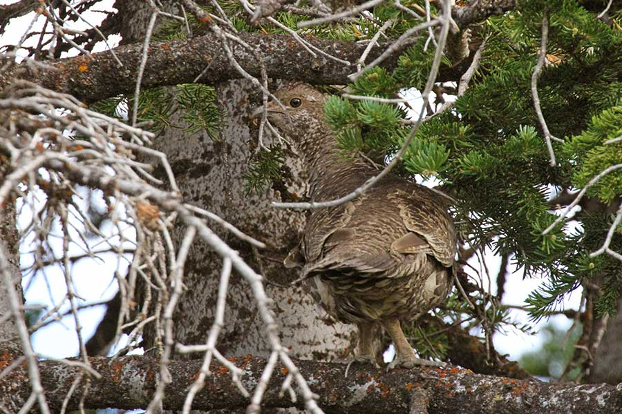 A forest grouse camouflaged in a tree
