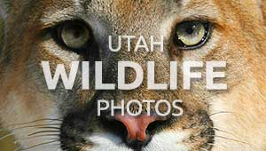 Utah wildlife photos